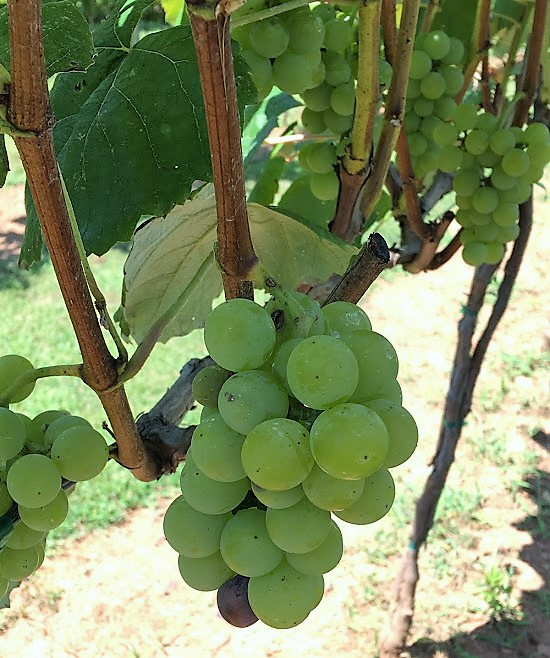 Sweet Home Carolina Vineyard Grapes